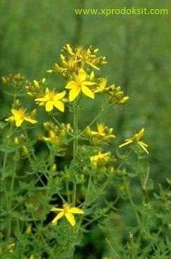 Sarı Kantaron ve Menopoz